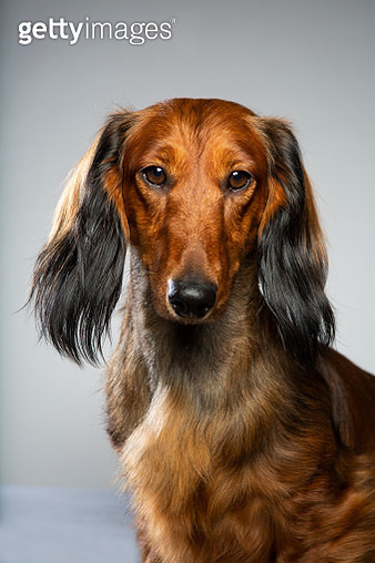 portrait long haired standard dachshund looking at camera - gettyimageskorea