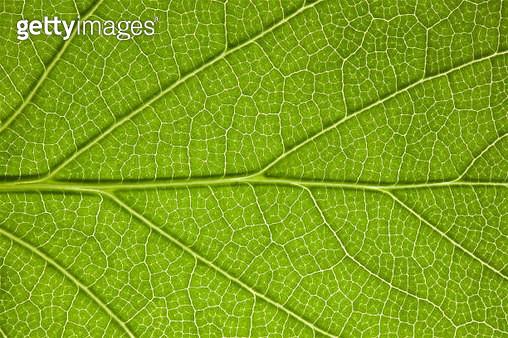 Back Lit Leaf at High Resolution Showing Extreme Detail - gettyimageskorea