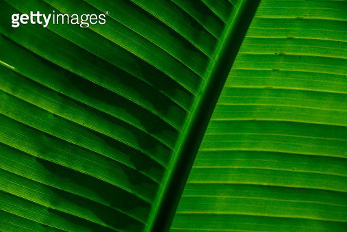 Macro view of a leaf of banana tree - gettyimageskorea