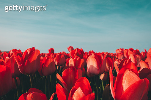 Close-Up Of Red Tulips On Field Against Sky - gettyimageskorea