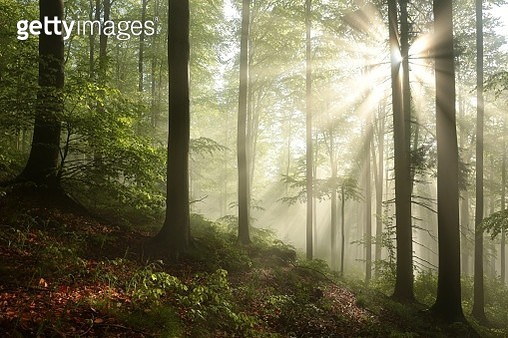 Misty Beech Forest At Dawn - gettyimageskorea