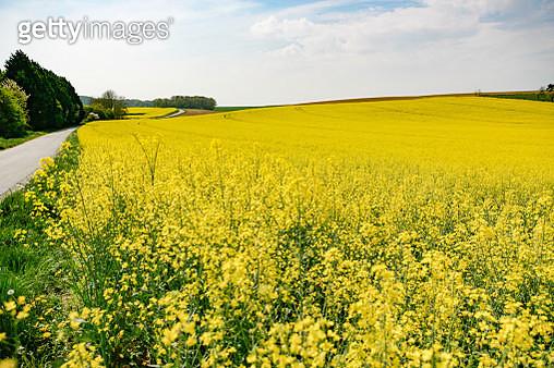 Scenic View Of Oilseed Rape Field Against Sky - gettyimageskorea