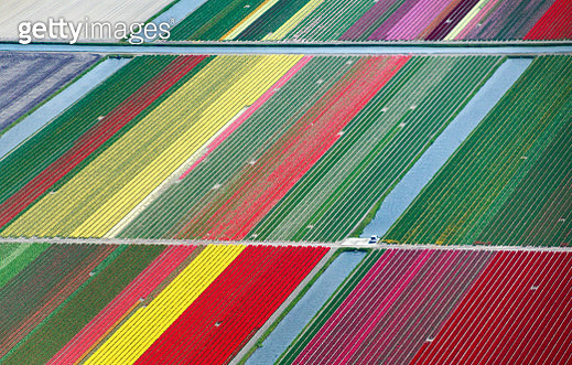 Aerial view of tulip fields in the Netherlands - gettyimageskorea