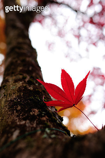 Red leaves 3 - gettyimageskorea