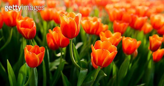 Close-Up Of Orange Tulips In Field - gettyimageskorea