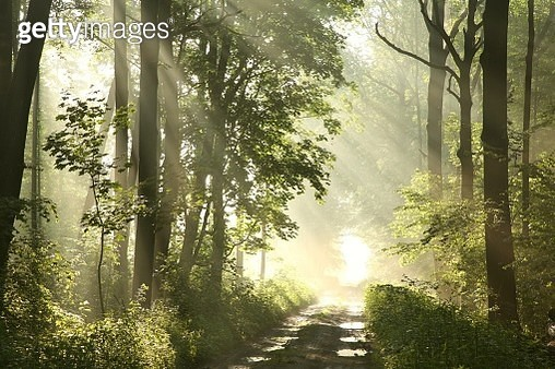 Misty Spring Forest At Dawn - gettyimageskorea