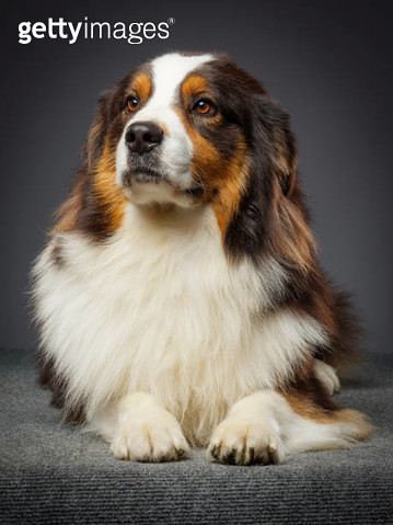 Purebred Australian Shepherd Dog - gettyimageskorea