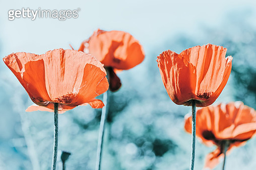 Red Poppies flowers on blue bokeh natural background - gettyimageskorea