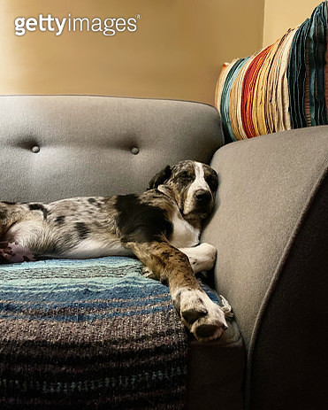 Mobile phone image of a spotted dog sleeping in a big gray chair. - gettyimageskorea