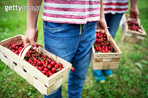 Two brothers picking up cherries in orchard - gettyimageskorea
