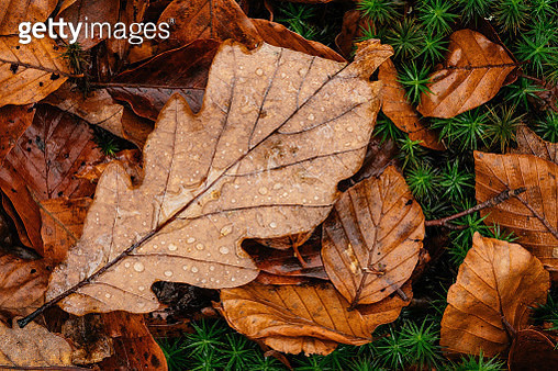Large Oak leaf on wet forest floor - gettyimageskorea