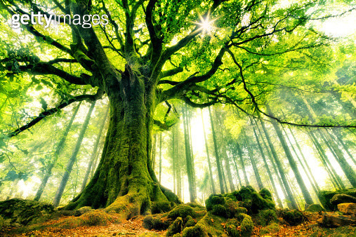 A large tree, namely an old beech, covered in moss, standing in the summer sun. This particular tree is a legend by himself. It even has a name: Ponthus' beech. It lives in the Brocéliande forest, in Bretagne (France). - gettyimageskorea