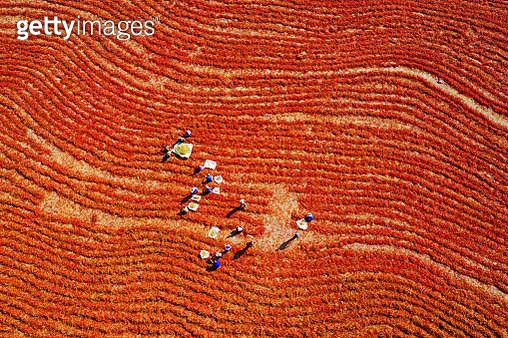 Shawan Ann sea pepper harvest in xinjiang - gettyimageskorea