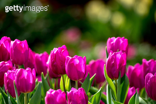 Close-Up Of Pink Tulips - gettyimageskorea