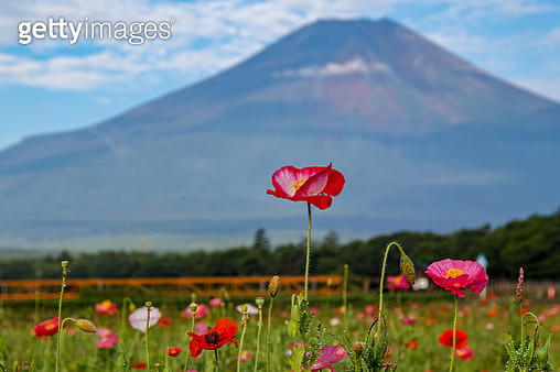 Fuji and poppy - gettyimageskorea