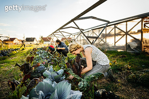 A group of urban farmers are crouched down harvesting a small organic crop of rhubarb. - gettyimageskorea