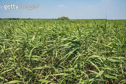 Reeds Against Clouds In Blue Sky - gettyimageskorea