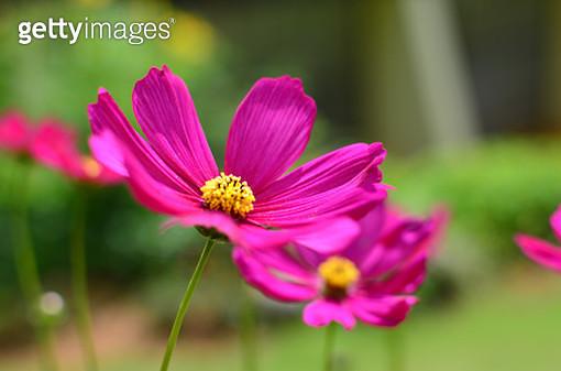 Pink Flower - gettyimageskorea