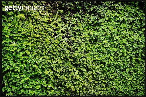big green bush - gettyimageskorea
