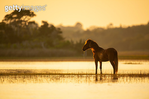 A wild horse on the Outer Banks stands backlit in the marsh at sunset - gettyimageskorea