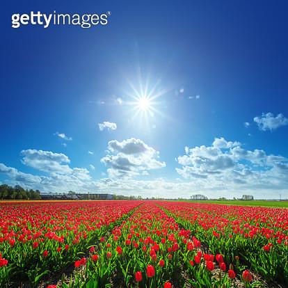 Tulip fields in the Netherlands - gettyimageskorea