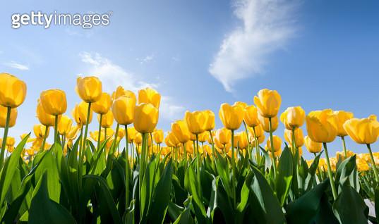 yellow tulips - gettyimageskorea