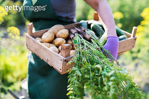 Unrecognizable female hand holding fresh picked vegetables in basket, crate. - gettyimageskorea