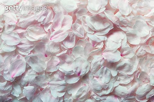 Detail shot of pink rose petals - gettyimageskorea