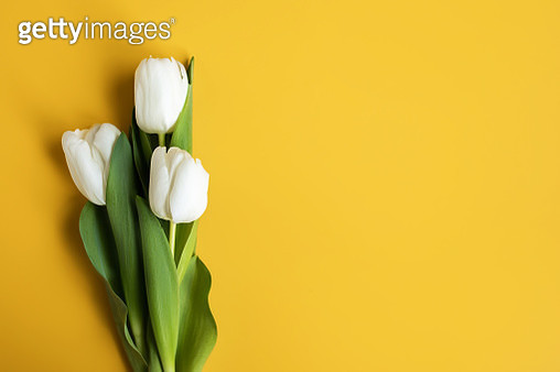 White Tulips on yellow background. Top view - gettyimageskorea