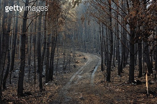 Burned out autumn forest - gettyimageskorea