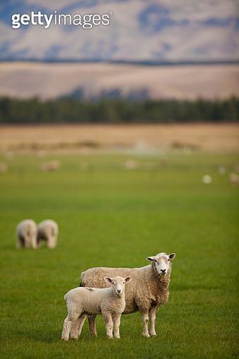 Sheep grazing in Green Field - Cattle - gettyimageskorea
