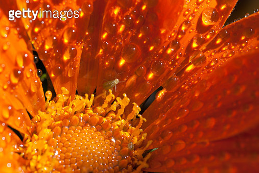 Orange Gazania with Waterdrops - gettyimageskorea