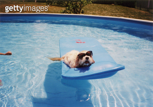 The family dog wears sunglasses in the pool on a hot summer day. - gettyimageskorea