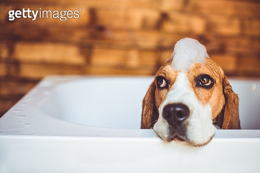Beagle dog having a bath - gettyimageskorea