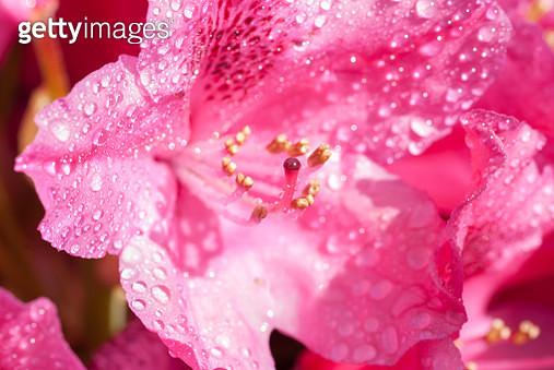 Pink Rhododendron Flower Close-Up - gettyimageskorea