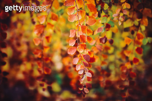 Autumn leaves. - gettyimageskorea