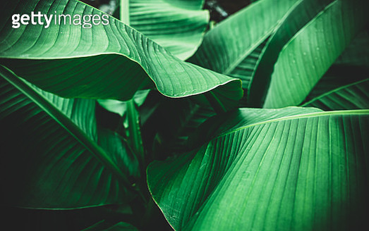 Banana leaves are green nature. - gettyimageskorea