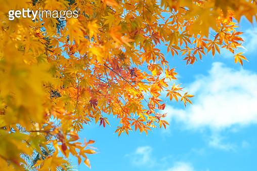 Autumn season of tree and leaves - gettyimageskorea