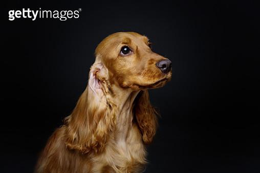 Beautiful Young Cocker Spaniel - gettyimageskorea