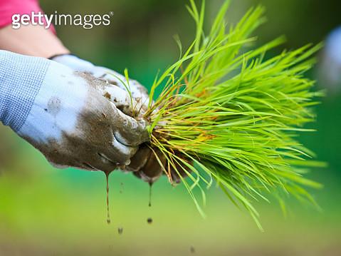 Rice seedlings in man's hand - gettyimageskorea