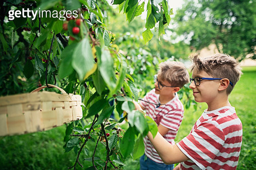 Little boys picking up cherries in orchard - gettyimageskorea
