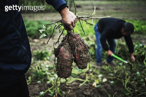 Farmer harvesting sweet potatoes in organic farm - gettyimageskorea