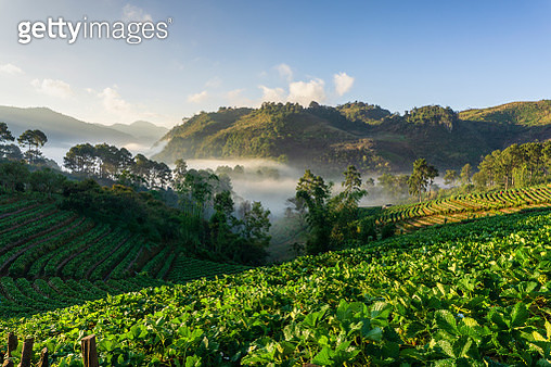 Misty morning sunrise in strawberry garden, View of Morning Mist at doi angkhang Mountain - gettyimageskorea
