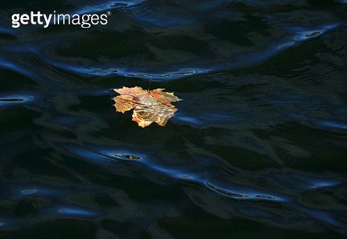 A fallen maple leaf floats on water highlighted by morning sun - gettyimageskorea