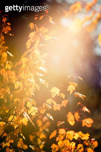 Brightly lit autumn tree branch - gettyimageskorea