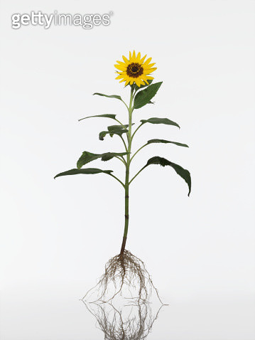 Sunflower (Helianthus annuus) plant, close-up - gettyimageskorea