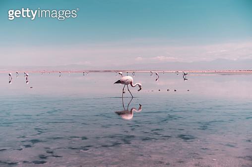 Flamingo searching for food in salt lagoon in Atacama Desert, Chile - gettyimageskorea