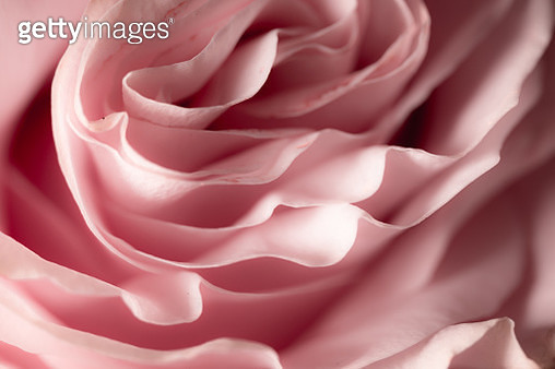 A close up picture of the petals of a rose - gettyimageskorea