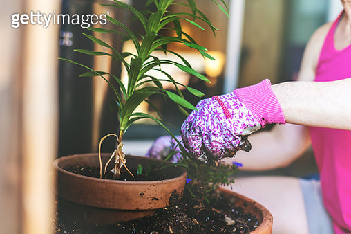 Mature Adult Female Western Colorado Potting Plants and Flowers During Spring Garden Planting Season (Shot with Canon 5DS 50.6mp photos professionally retouched - Lightroom / Photoshop - original size 5792 x 8688) - gettyimageskorea
