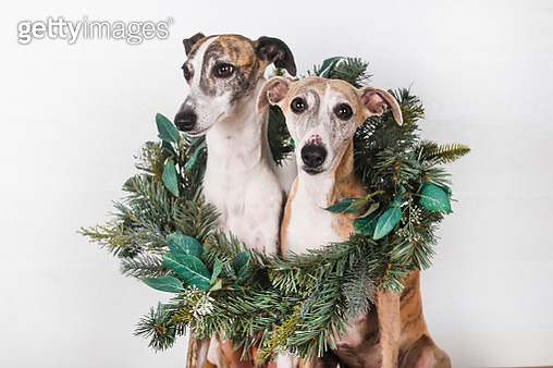 Dogs with green Christmas wreath against white background - gettyimageskorea